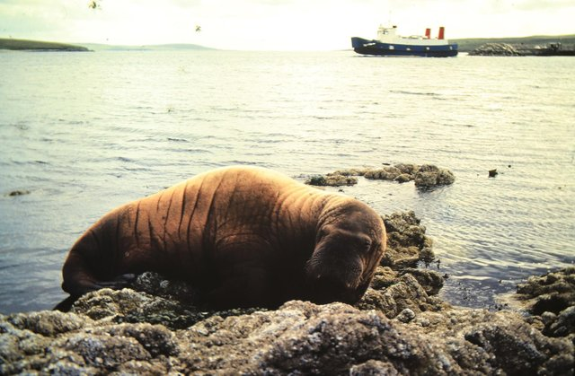 A walrus at Gutcher, taken in the 1980s picture: Nick Dymond