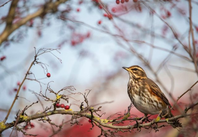 A Redwing  perched on a hawthorn tree. Picutre: Ben Andrew