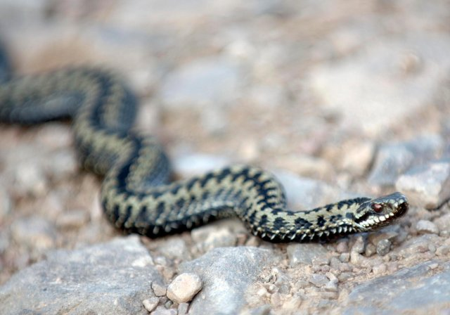 Adders are coming out of hibernation. Picture: Ian Rutherford