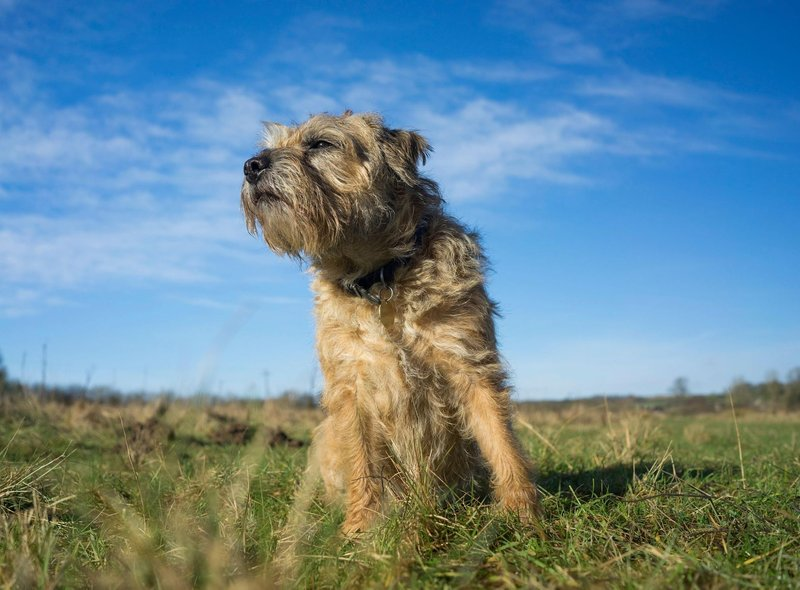 Celebrities who have welcomed Border Terriers into their families include Sir Andy Murray, David Walliams, Dennis Quaid, Diane Keaton, Daniel Craig, James Herriot and Kate Lawler.