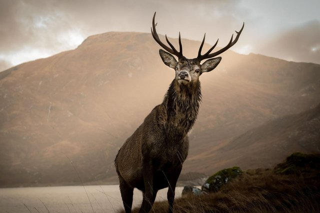 A majestic stag by Loch Quoich near Kinloch Hourn in the western Highlands (Picture: Dean Allan/SWNS)