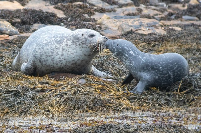 Harbour seals mum-pup pair from Summer 2021 taken in Orkney (Photo: John Dickens, Sea Mammal Research Unit).