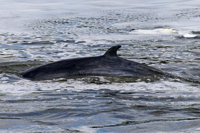 A Minke whale, similar looking to the ones that will be involved in the Norway experiment picture: PA/Yui Mok