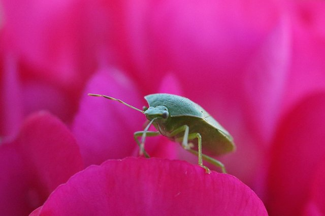 Stink bugs are similar in appearance to a shield bug (pictured) but pose a bigger threat to fruit crops. (Pic: Getty Images)