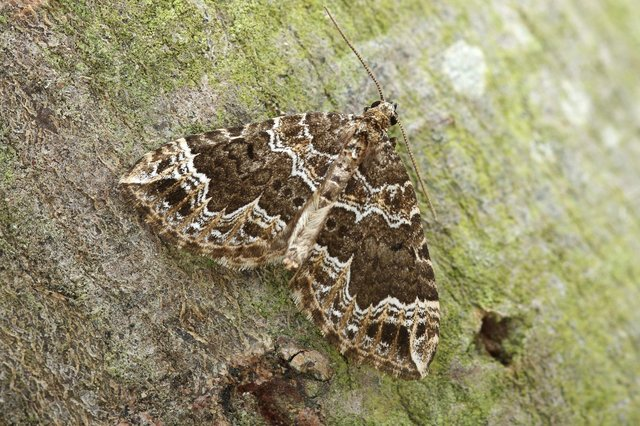 The Devon carpet moth has undergone a rapid range expansion from south-west Britain northwards, reaching southern Scotland in 2013