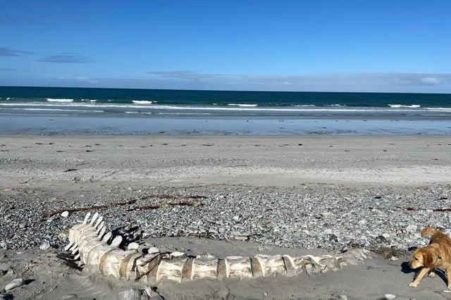 Bonnie the dog explores the Sperm Whale bones on South Uist beach (Photo: Hannah Burns).