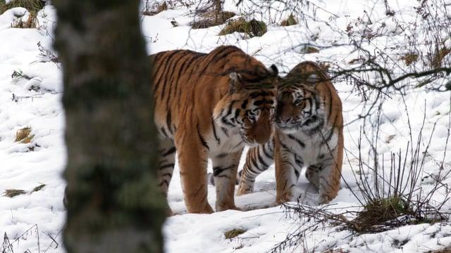 Amur tigers Botzman and Dominika at Highlands Wildlife Park.