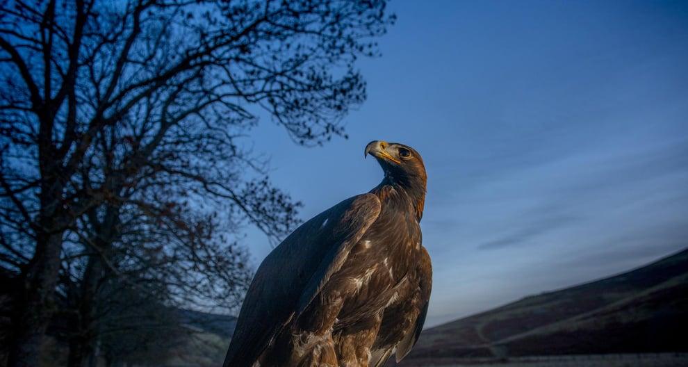 Golden eagle deliberately poisoned near Balmoral estate, say police