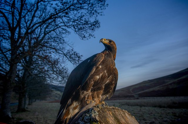 Illegal persecution of golden eagles through shooting or poisoning is still a major problem in Scotland.
