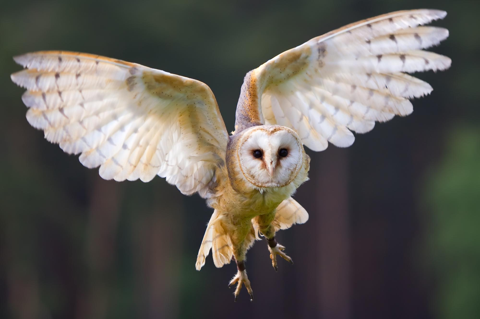 Barn owls flying high thanks to conservation work at Angus sporting estate