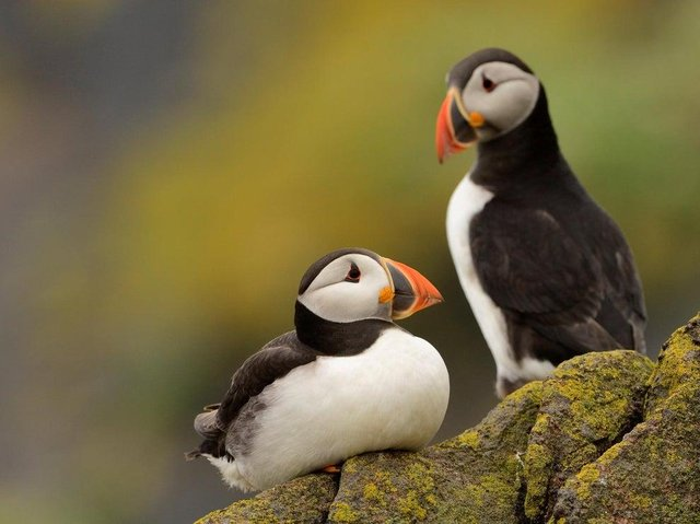 Puffin pair on the Isle of May