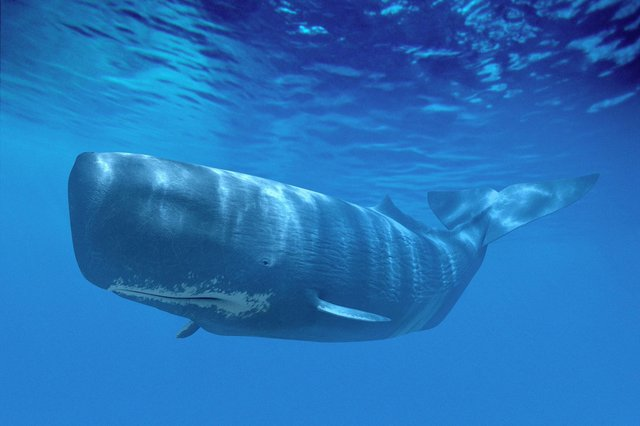 Ambergris is excreted by enormous sperm whales and can sometimes wash up on beaches after spending many months out at sea.