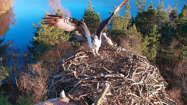 The male osprey LM12, affectionately known as Laddie, has returned to Perthshire's Loch of the Lowes nature reserve for the tenth year in a row