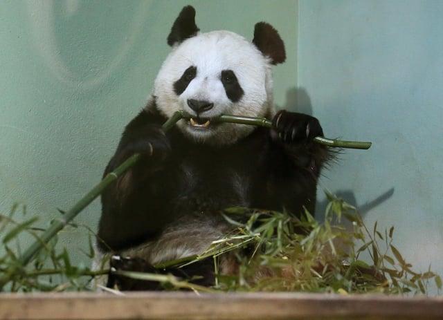 Tian Tian in her enclosure at Edinburgh Zoo (Photo: Andrew Milligan).