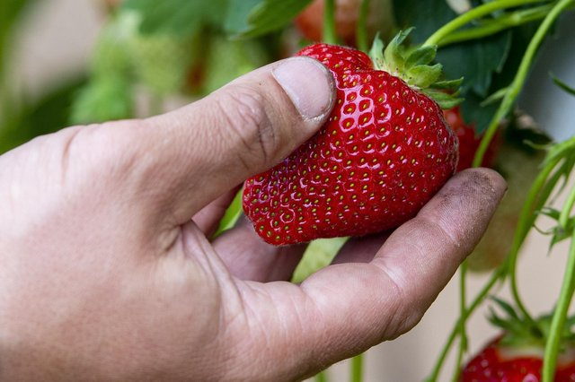 30,000 workers will be permitted to travel to the UK to pick and package fruit and vegetables next year