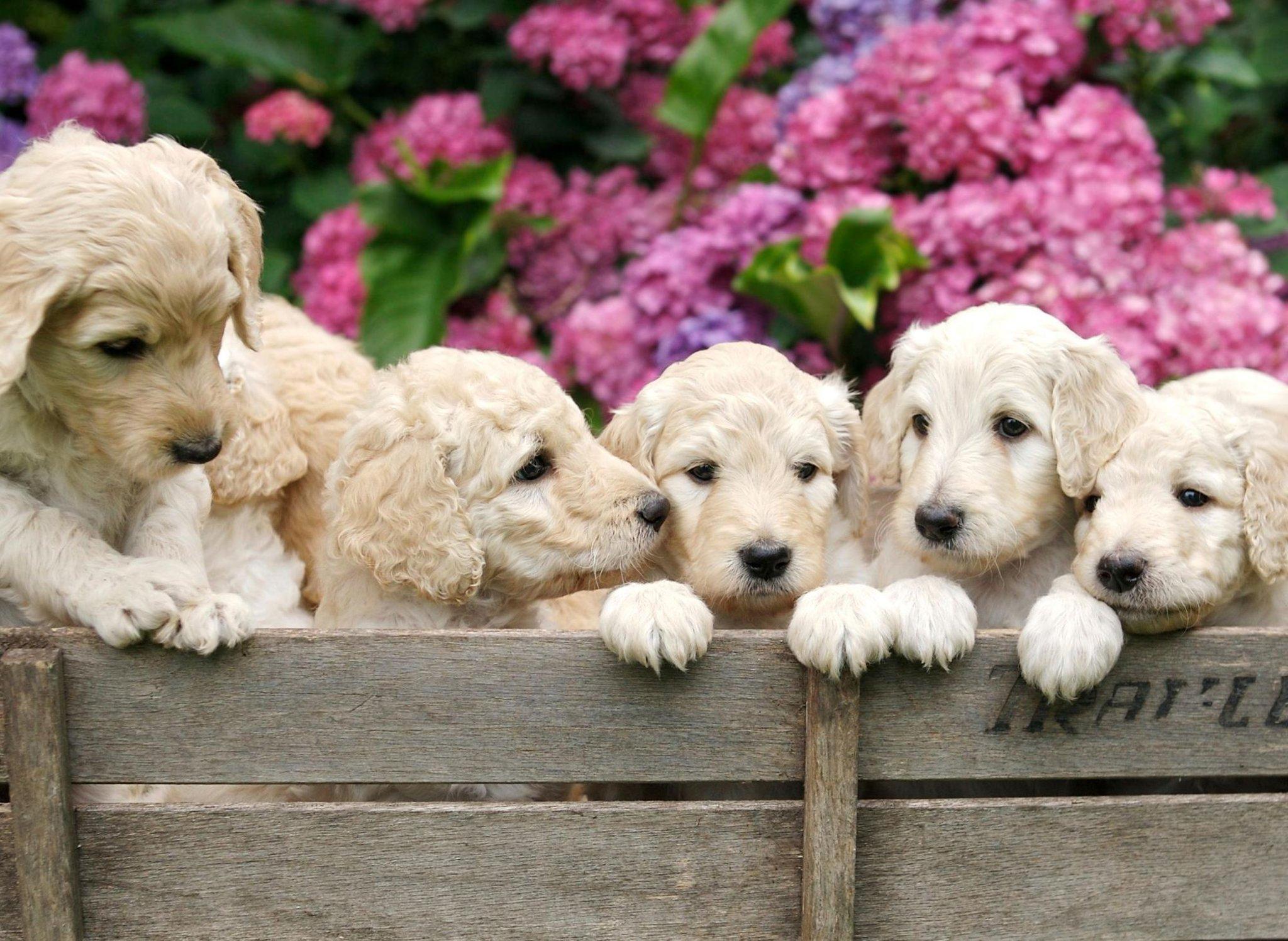 Ini adalah 10 fakta menyenangkan yang harus Anda ketahui tentang anjing blasteran Labradoodle yang populer dan suka diemong