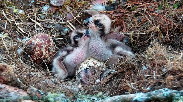 Three chicks at Loch of the Lowes WIldlife Reserve