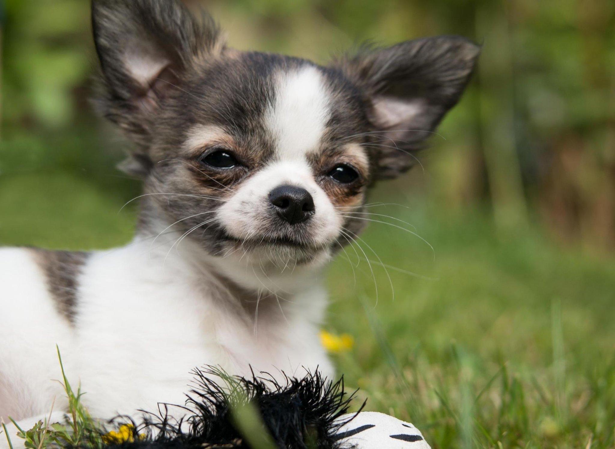Fakta Chihuahua: 10 hal menarik yang tidak Anda ketahui tentang jenis anjing yang menggemaskan dan suka diemong