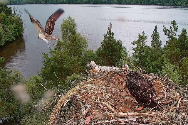 Blue, the elder of two chicks born this year at Loch of the Lowes nature reserve in Perthshire, was captured on film as she took to the skies for the first time