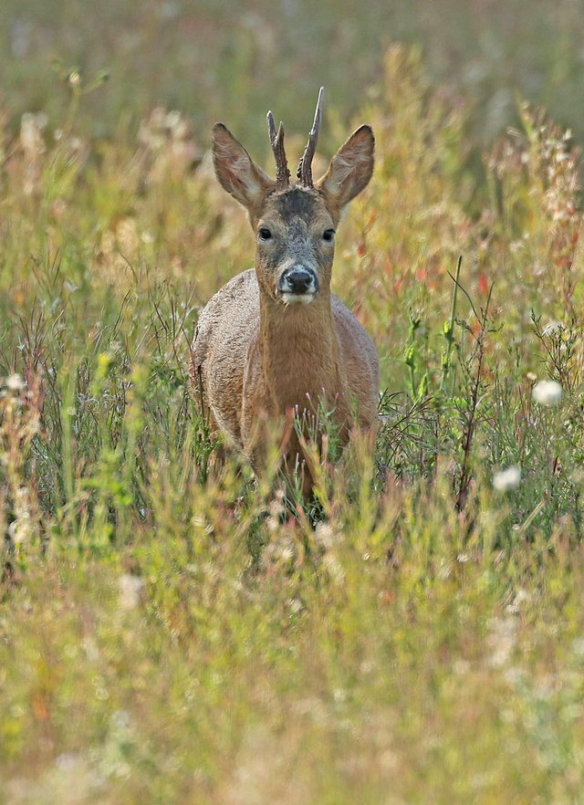 A roe deer, similar looking to the ones found injured following a suspected dog attack. Picture: Les Bunyan/Wild Ken Hill