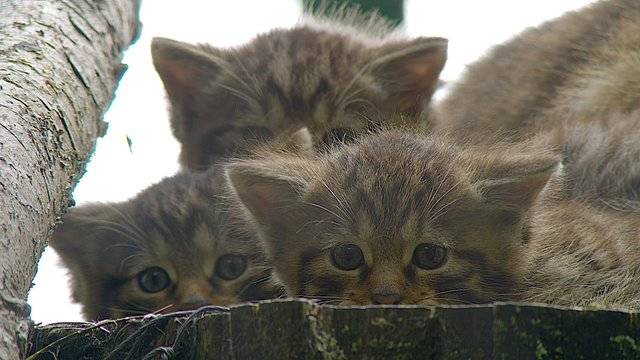 Nell, pictured here with her siblings, is the first Scottish wildcat to arrive at the new custom-built breeding and training centre at the Scottish Wildlife Park