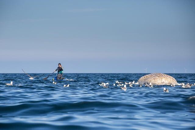 Cal Major found the dead juvenile humpback whale off the coast of Caithness (Photo: James Appleton).