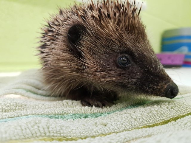 Last year, the welfare charity's National Wildlife Rescue Centre cared for 2,245 hedgehogs - a record number - and 1,000 of those arrived between September and November. Pic: SSPCA