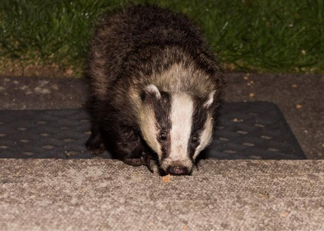 It began with foxes at the beginning of lockdown but as the weather turned colder and the nights drew in earlier they spotted a more uncommon garden visitor - badgers.