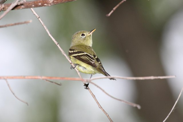 A yellow-bellied flycatcher like the one spotted on Tiree. PIC: Creative Commons/Dominic Sherony.