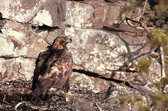 Golden eagles, Scotland second-largest bird of prey and the country's national bird, have successfully hatched chicks in Orkney for the first time in nearly 40 years