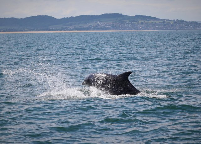 Surveys of the dolphins have been carried out between May and September each year since 1989 by the Sea Mammal Research Unit