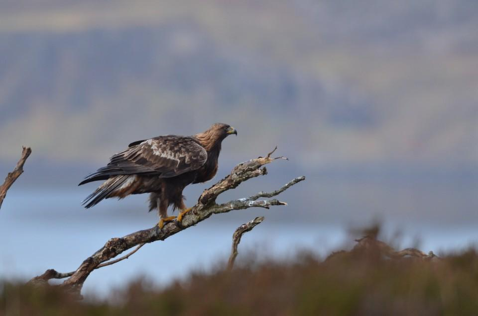 Scotland should not be a 'haven for wildlife crime' after 'shocking' reports of a golden eagle's disappearance
