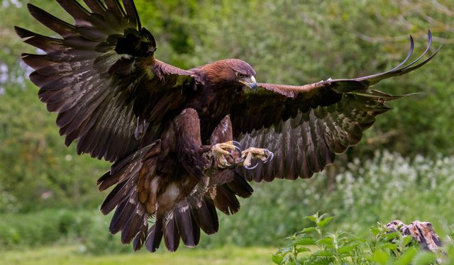 Golden eagles have successfully hatched a chick or chicks on a nest on the Orkney island of Hoy (Picture: Getty Images/iStockphoto)
