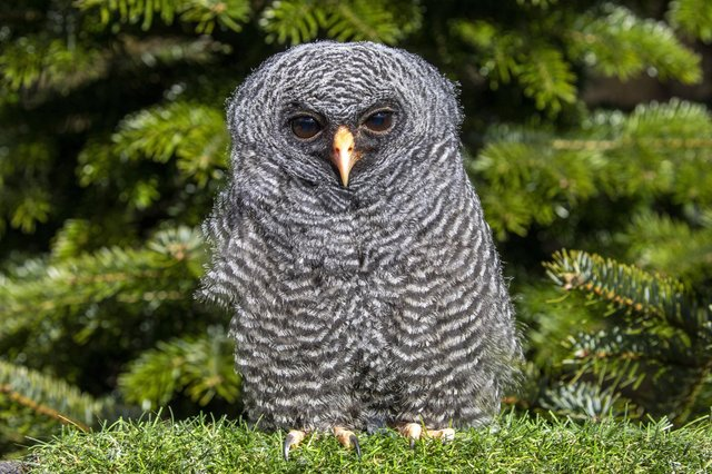 Eleven-week-old Rio the Black-banded Owl at The Scottish Owl Centre, West Lothian.
