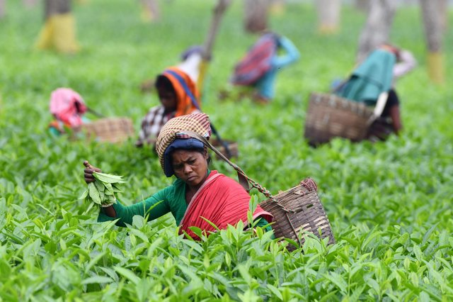 Indian tea plantation workers pick leaves at a tea garden in Gohpur, some 299 kms from Guwahati, in the northeastern state of Assam. PIC: Biju BORO / AFP via Getty Images