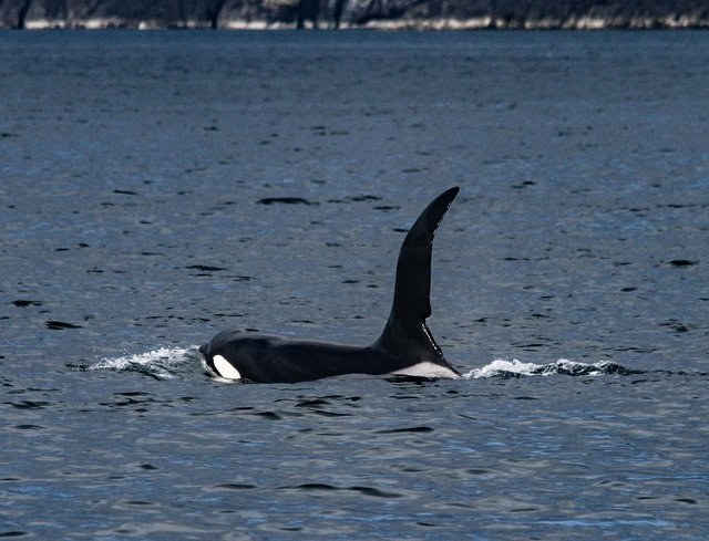 Bull orca John Coe, easily recognisable from the notch cut out of his dorsal fin, was sighted back in Scottish seas by members of the Hebridean Whale and Dolphin trust this week