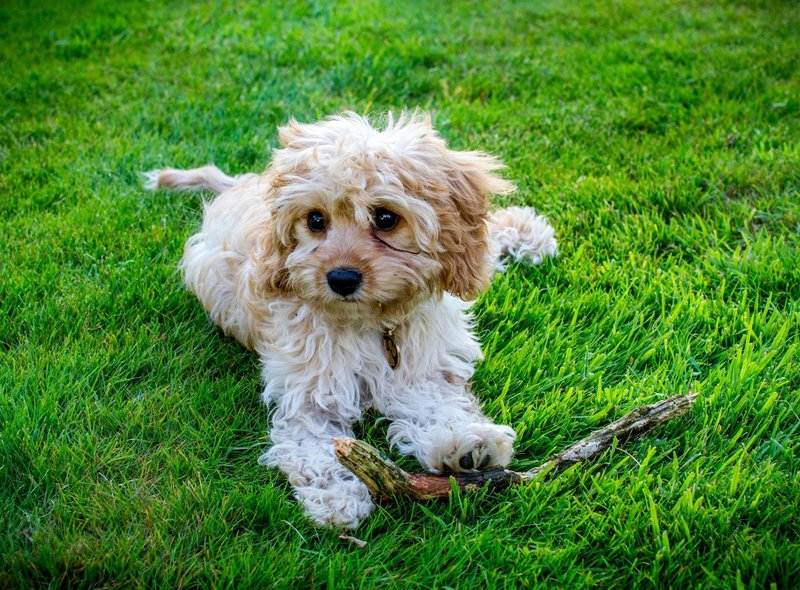 The Cavapoo - a cross between the Cavalier King Charles Spaniel and a Poodle - is the runner-up when it comes to pricey dog breeds, with an average price of £2,949.