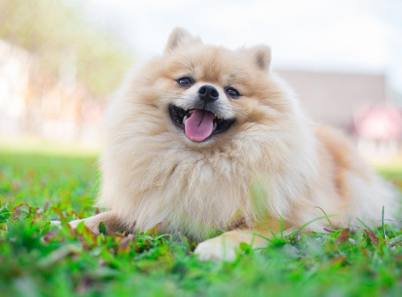 Pomeranians may be tiny, but there's nothing small about the average cost of £2,247 a puppy.