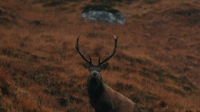 EMBARGO: SUNDAY 29 NOVEMBER AT 21:00 HRSSCOTTISH FILM, THE CULL, ABOUT DEER MANAGEMENT IN SCOTLAND WINS GLOBAL AWARD AT KENDAL MOUNTAIN FESTIVALKENDAL, UK - 29 NOVEMBER 2020:  Scottish film, 'The Cull', made by multi-award winning film-maker Ted Simpson takes Best Environmental prize tonight at the Kendal Mountain Festival global film awards. 'The Cull' explores the different approaches to deer management taken by landowners and managers, and the reasons behind those differing approaches. Talking to people from all over Scotland and on all sides of the debate, the film presents the issues as seen by real people on the ground.The film pulls together perspectives on a controversial issue to create an intentional conversation between it's key characters. Being able to listen, and change opinion, is one of the most important elements of the environmental debate, and this film demonstrates how we must listen carefully to all viewpoints, and surprise ourselves with shifting responses. Kendal Mountain Festival announces tonight, after ten days of curated films, live sessions, literature and inspiring speakers online, its 12 International Film Competition prize winners for 2020. Hailed as the 'Oscars' of mountain film, the winners were named in a virtual awards ceremony hosted by Kendal Mountain Festival jury chairman Keme Nzerem and a panel of judges for the Festival's 40th year. The Festival received over 400 entries for 2020 - a record number of submissions - from professional and amateur filmmakers from across the globe.
