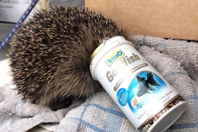 This poor hedgehog had a lucky escape, thanks to Scottish SPCA officers, after becoming trapped in a discarded fish food can