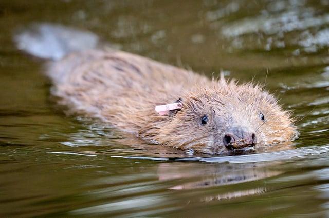 An adult Eurasian beaver swimming picture: Ben Birchall