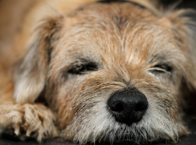 The breed has only been known as the Border Terrier since the late 1800s - before then it was referred to as the Coquetdale Terrier or Redesdale Terrier.