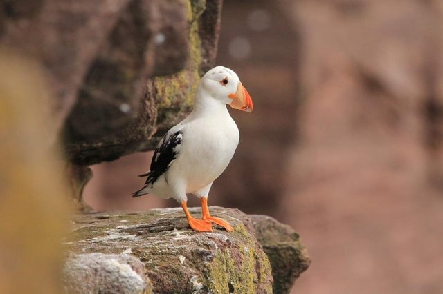 The white puffin spotted on Handa Island Wildlife Reserve