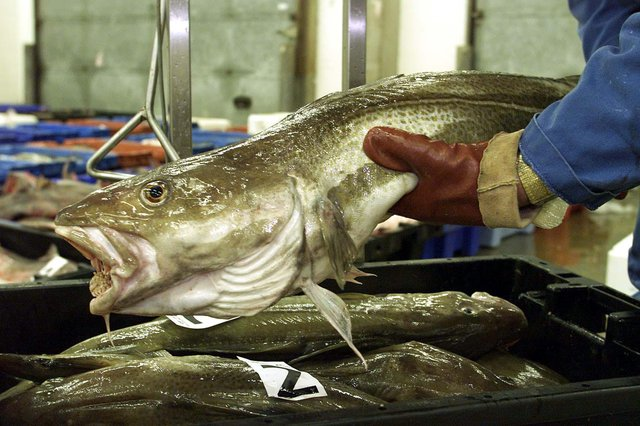 Allowing populations of North Sea cod to recover could dramatically increase catches while staying within sustainable limits, says Philip Taylor (Picture: Andrew Parsons/PA)