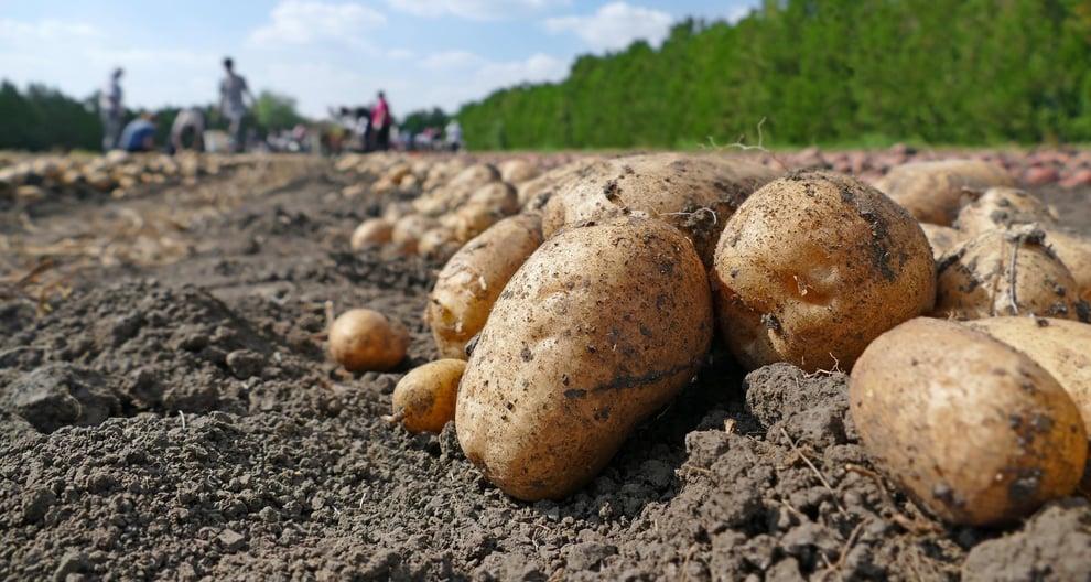 UK potato growers