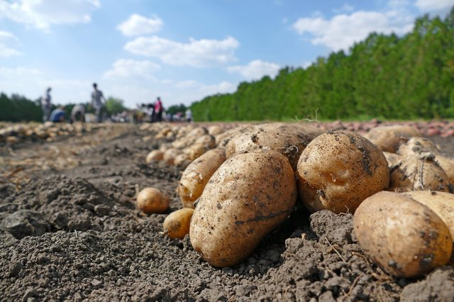 Potato growers pay£42.62 per hectare levy to the AHDB