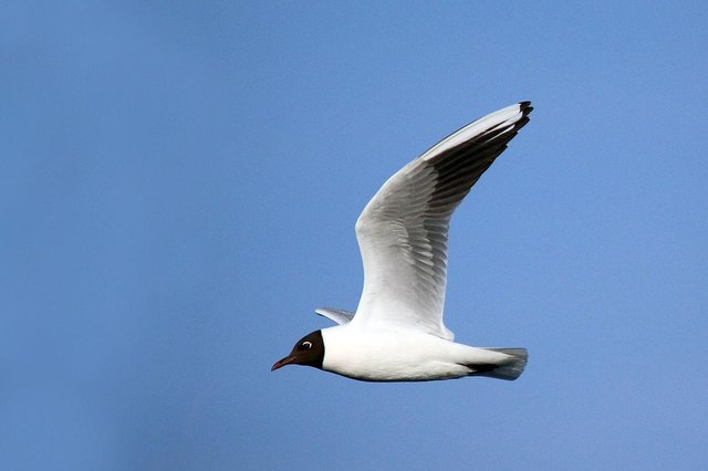 Black headed gull. Picture: Sharp Photography/Wikimedia Commons