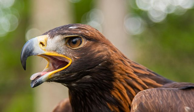 The Borders town of Moffat is set to host the UK's first ever Golden Eagle Festival, with a range of events celebrating Scotland national bird and other iconic wildlife