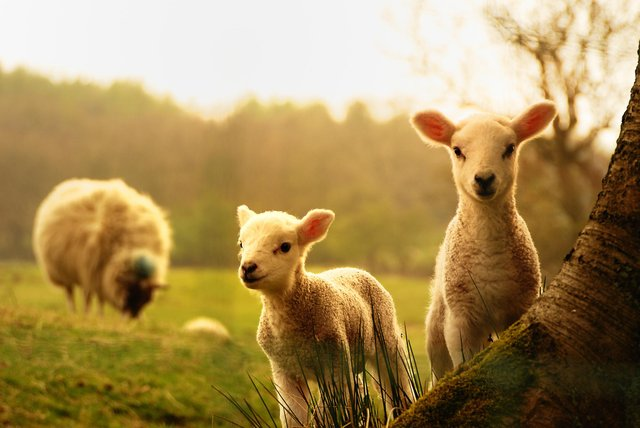 Lambs are most likely to be born in spring, when food supply is high (Picture: Shutterstock)