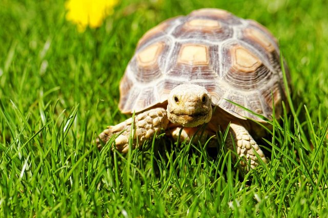 A house in Murrayfield on the market for £975,000 comes with an ancient pet tortoise included. (Stock photo)